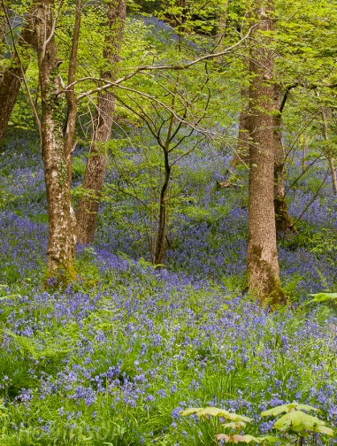 Bluebell woods-6