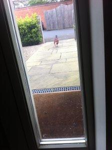 Local pheasant calling
