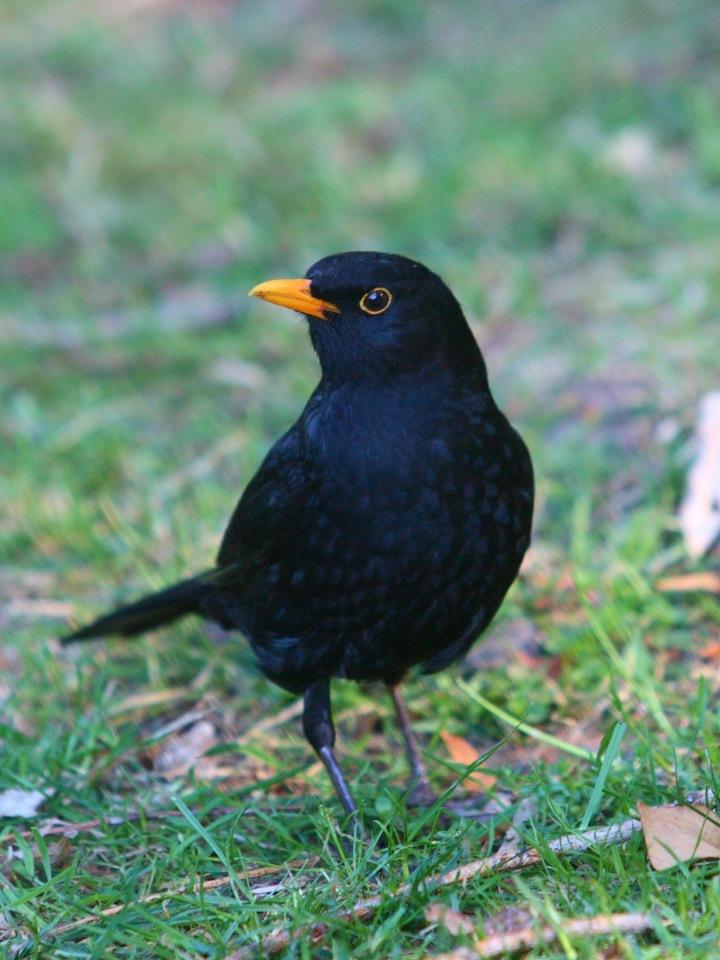 A poem about a blackbird