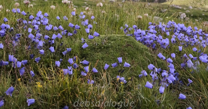 Meadow flowers on the Grossglockner high alpine road