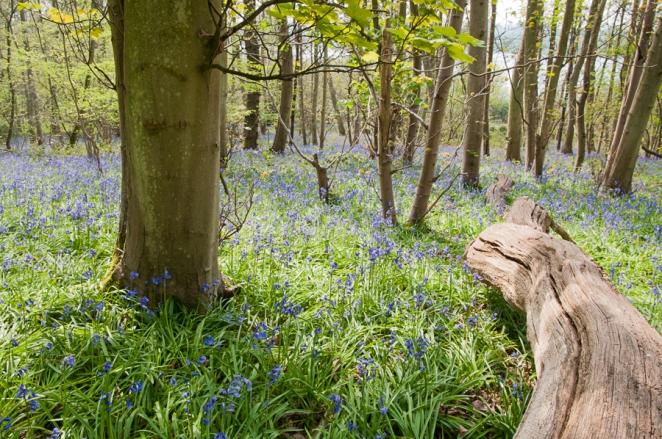 Bluebells at Rutland Water, Rutland UK
